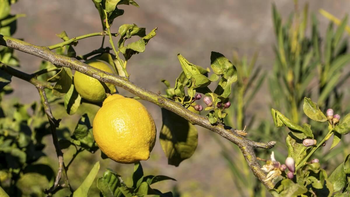 Khasiat Dan Manfaat Jeruk Lemon Untuk Kesehatan